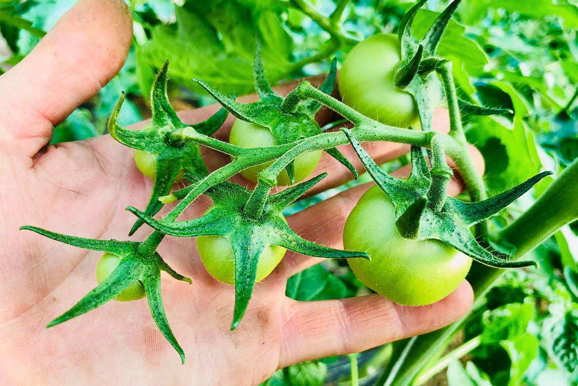 Lancement de la production de nos tomates sans pesticides